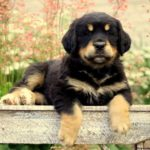 Bernese Golden Mtn Dog